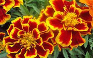 Бархатцы – ценные советы по выращиванию садовых цветов