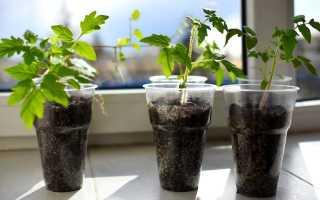 Китайский способ выращивания рассады томатов: в чем его секрет?