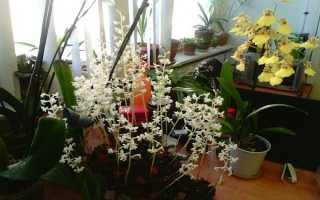 Лудизия – необычный представитель семейства орхидейных
