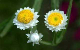 Аммобиум – описание растения и как его выращивать