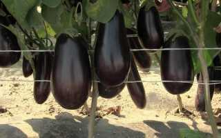 Выращивание баклажан в открытом грунте + советы по уходу