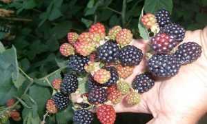 Ежевика Черный принц: описание, уход, выращивание + фото