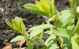 Как и когда сажать жимолость осенью: подбор рассады, посадка и последующий уход