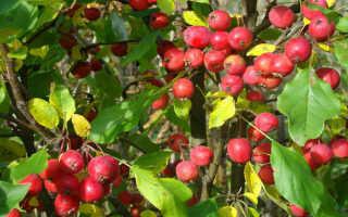 Яблоня долго – описание и характеристики, плюсы и минусы