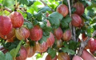 Крыжовник Пакс – инструкция по выращиванию и описание сорта