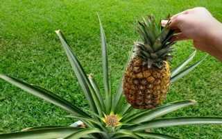 Выращивание ананаса: все ответы на важные вопросы+фото !