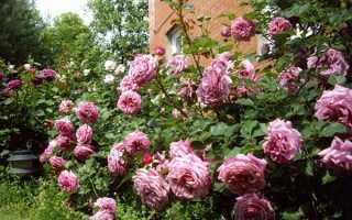 Розы-шрабы: все о необычном виде роз + фото шрабов