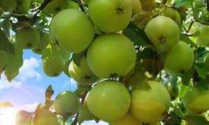 Яблоня Свердловчанин: описание сорта, особенности выращивания