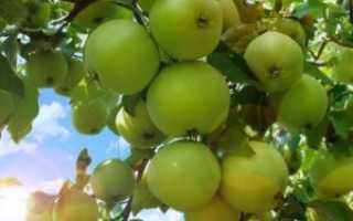 Яблоня Румянка свердловская: описание, фото, особенности сорта