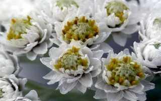 Анафалис: виды цветка, посадка и уход +10 фото