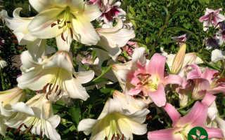 Садовая лилия. ТОП 6 лучших сортов красивого цветка