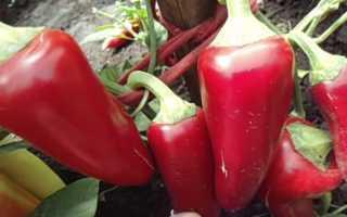 Перец Ласточка – описание, уход, сорт, урожайность + фото