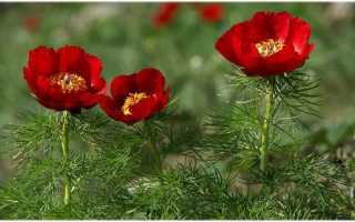 Особенности выращивания пиона мелколиственного: посадка, размножение, уход