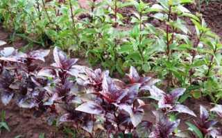 Базилик в саду: правила выращивания и уход