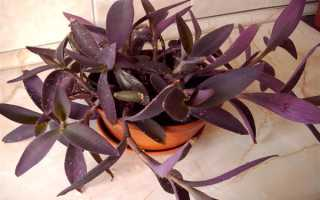 Сеткреазия: описание, выращивание и уход + фото комнатного цветка