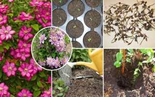 Семена клематиса для выращивания : инструкция по выращиванию