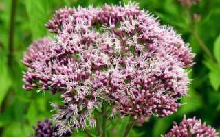 Евпаториум: описание растения, разновидности, выращивание + фото
