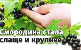 Чёрная смородина Искушение: описание, выращивание и уход + фото