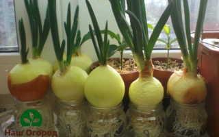 Зеленый лук на огороде: выращиваем без хлопот