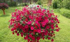 Петуния Тайфун Каскадная: характеристика сорта, уход за растением