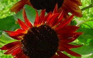 Гелиантус (он же подсолнух) – описание и характеристика растения