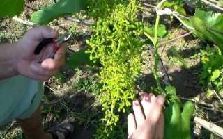 Уход за виноградом после цветения, рекомендации