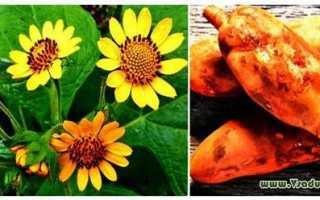 Якон – овощ и полезное растение, выращивание в грунте, уход + фото