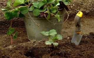 Посадка клубники: простая инструкция по выращиванию