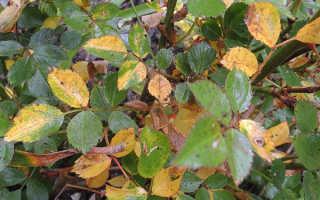 Желтеют листья у розы: причины и что с этим делать?
