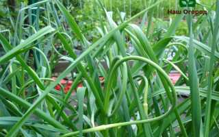 Чеснок в саду: как вырастить правильно и без труда?