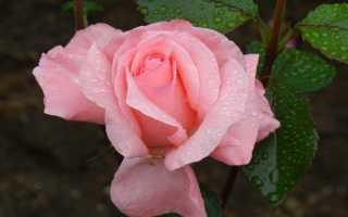 Роза Грандифлора: вся информация о видах и цветке