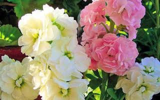 Левкой – декоративная культура, имеющая душистые цветочки