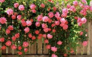 Вьющиеся розы – классификация вида и многообразие сортов