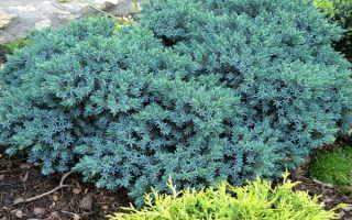 Можжевельник Блю Стар: описание, выращивание, болезни