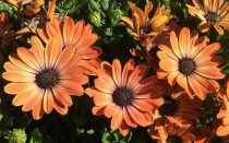 Диморфотека: описание, выращивание, посадка и уход + фото