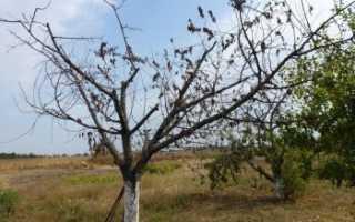 Монилиоз яблони – описание, борьба, лечение +фото