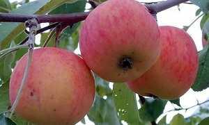 Яблоня Подарок садоводам: описание сорта, посадка и уход + фото