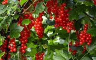 Смородина красная Сахарная – описание сорт + фото и отзывы