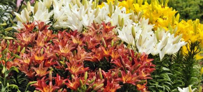 Посадка лилий весной в открытый грунт: как посадить луковицы с побегами, чтобы они зацвели? На какую глубину нужно правильно сажать проросшие луковицы?
