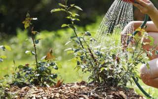 Полив роз: правильный режим, весенний и осенний полив