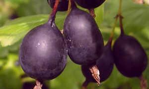 Крыжовник Черный негус: описание, выращивание, уход