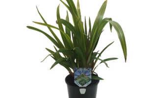 Дианелла: как ухаживать и размножать растение дома