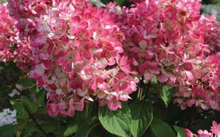 Гортензия Даймонд Руж – пошаговая инструкция по посадке растения