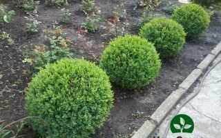 Вечнозеленые кустарники на вашем участке