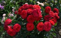 Роза Пиано: характеристика, советы по посадке и уходу