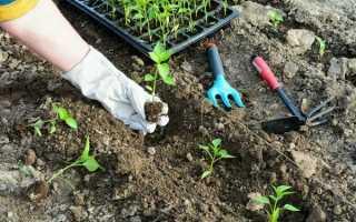 Посадка перца в открытый грунт рассадой: правила, подготовка, уход