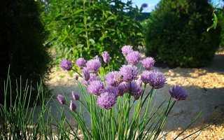 Лук шнитт: посадка и уход, выращивание, лучшие сорта, в открытом грунте, осенняя посадка под зиму, в домашних условиях, из семян, фото