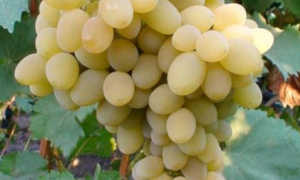 Виноград Августин: описание сорта, инструкция по выращиванию