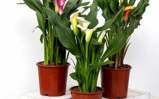 Цветок Калла: описание, сорта, выращивание и уход +фото