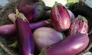 Большой увалень сорт баклажана: описание, отзывы